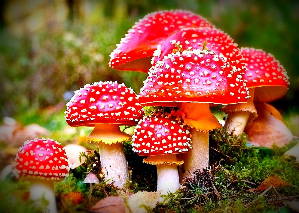 sacred-magic-mushroom-tea